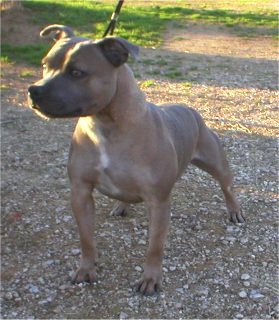 Blue STAFFORDSHIRE BULL TERRIERS in Virginia AKC champion