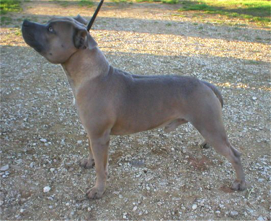 Blue Staffy For Sale : Blue staffordshire bull terriers in virginia akc champion sired